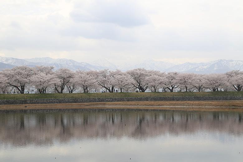 水面に映える船川べりの桜
