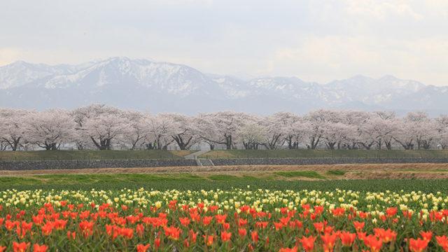舟川べりの桜とチューリップと白馬岳