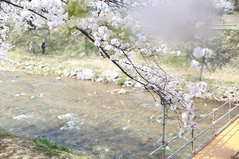 舟川べりの桜アップ