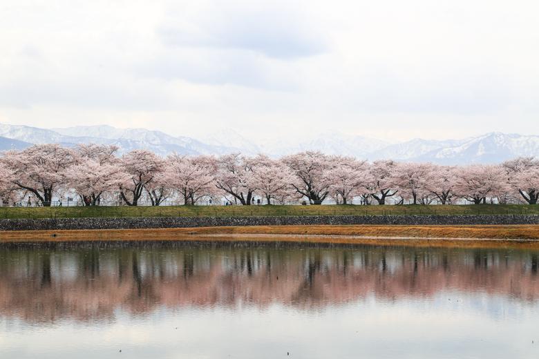 2018年に撮影したあさひ舟川の桜