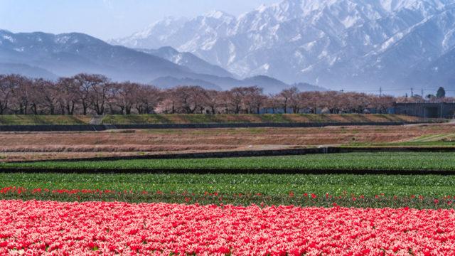 あさひ舟川の桜
