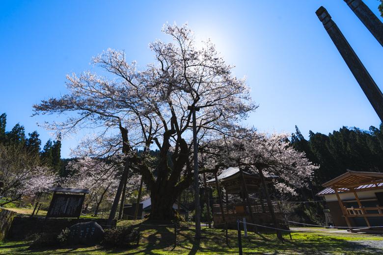法福寺 明日の大桜