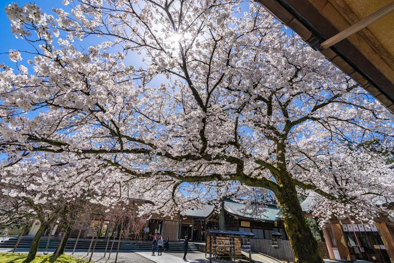 富山県護国神社の桜