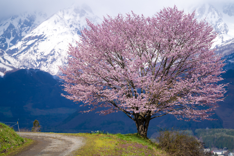 白馬村 野平の一本桜